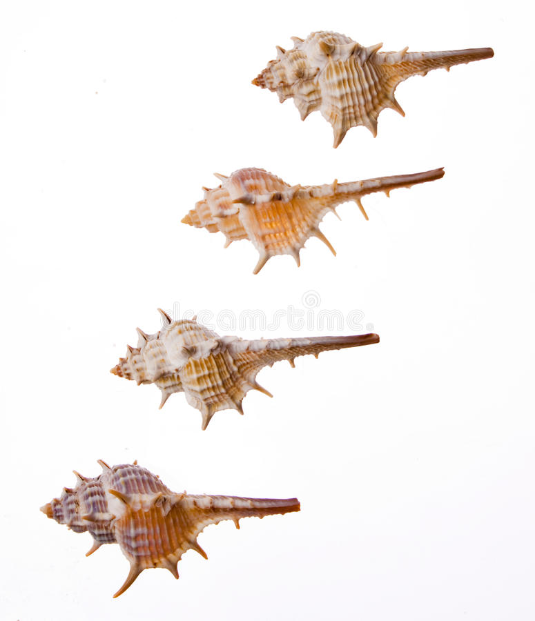 Sea shell. On white background royalty free stock images