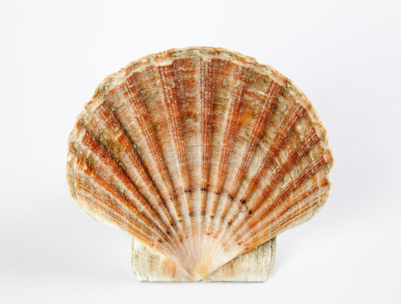 Download Sea shell stock image. Image of wildlife, collection - 18302297