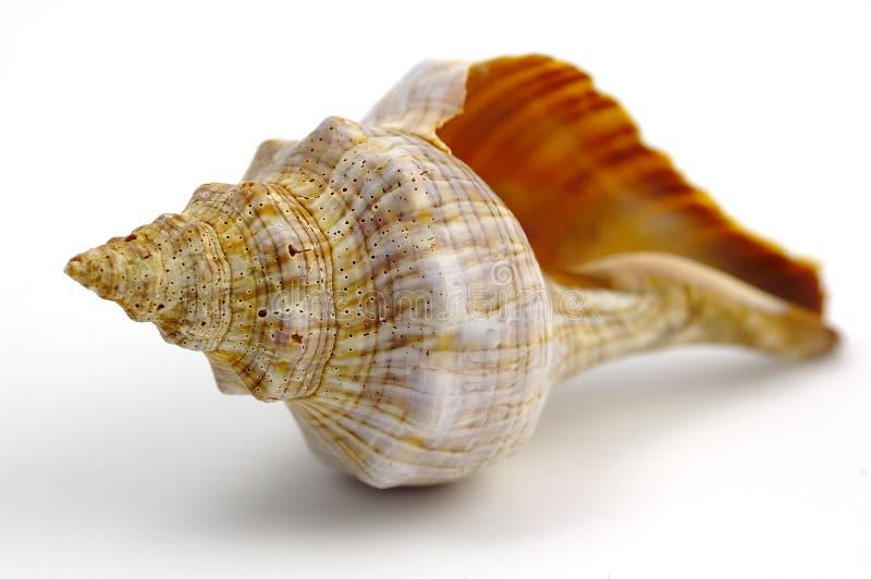 Sea Shell. Isolated Sea Shell stock photos