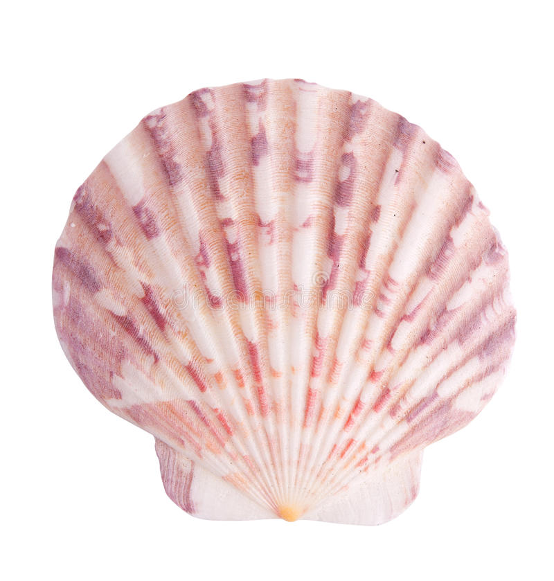 Sea shell. Isolated over a white background royalty free stock images