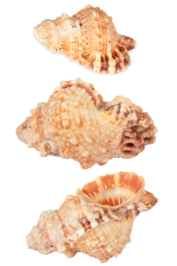 Download Sea Shell Stock Photography - Image: 27355162