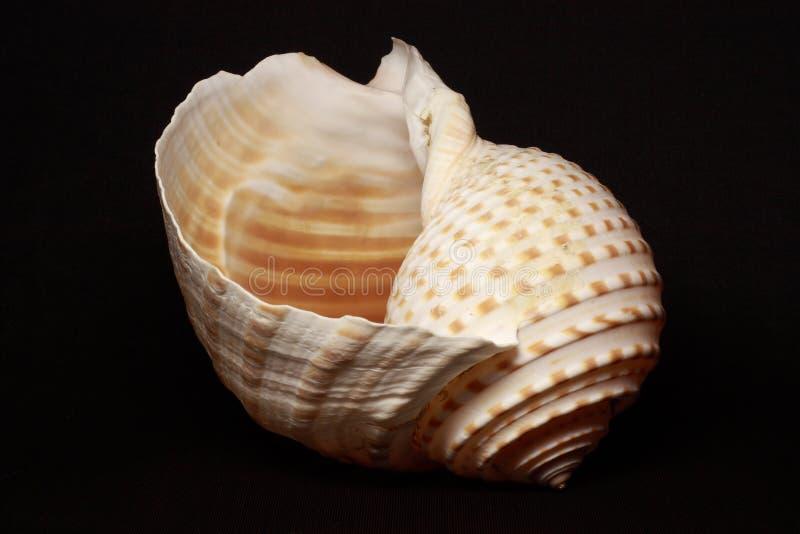 Sea shell stock illustration