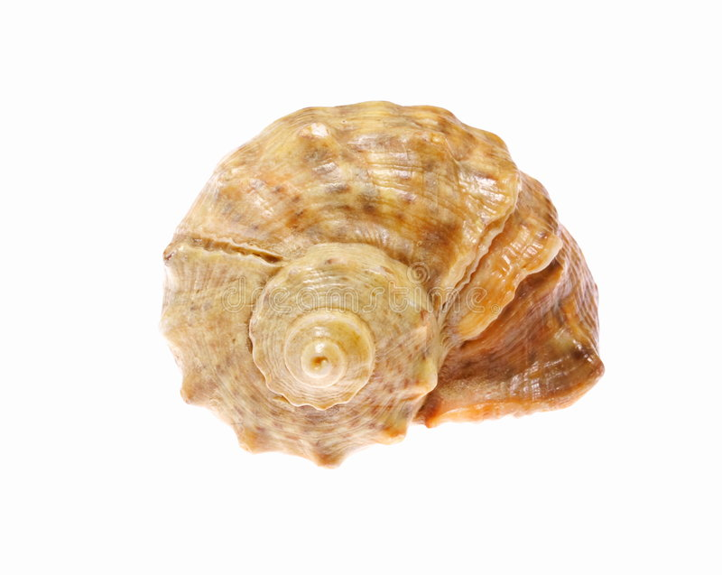 Sea shell. Isolated on white background royalty free stock photography
