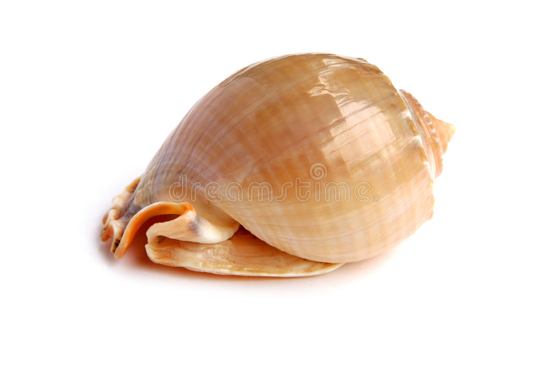 Sea shell. Isolated on white background royalty free stock images