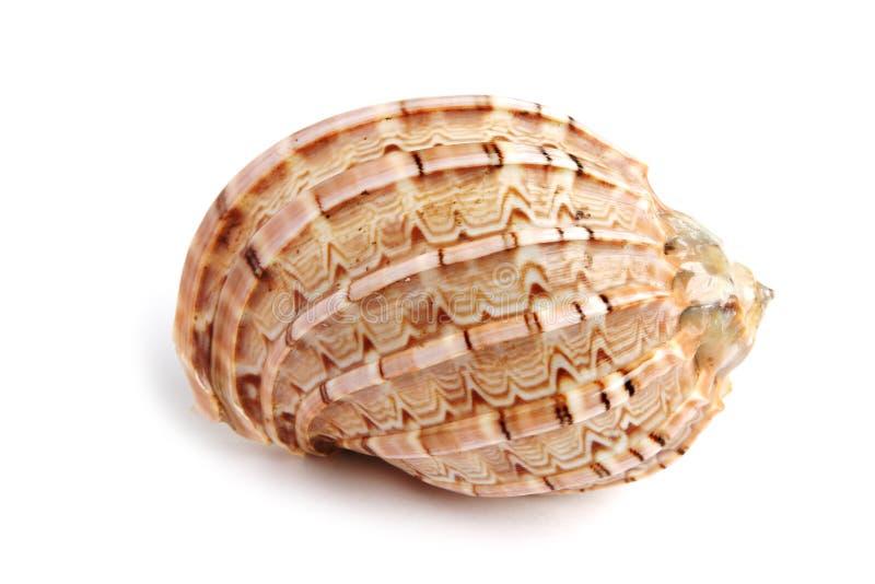 Sea shell. Isolated on white background stock photo