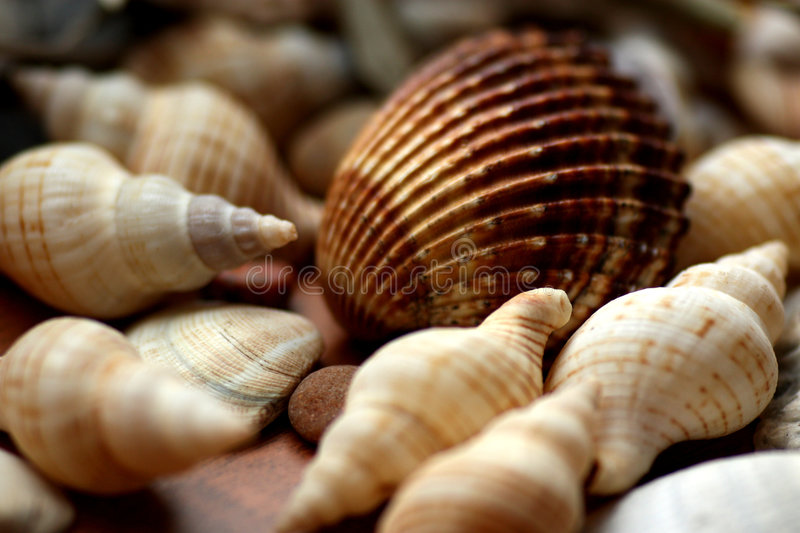 Sea shell. Brown sea shell with beige shells on brown background royalty free stock photos