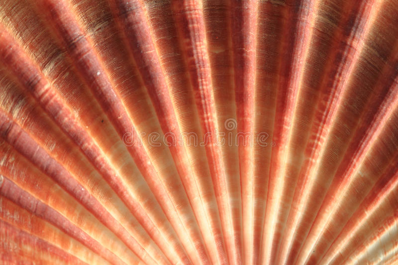 Sea shell background. Sea shell texture as nice natural background royalty free stock photo