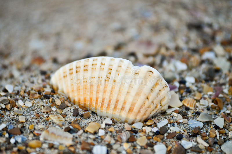 SEA SHELL ON THE BEACH 3 royalty free stock photography