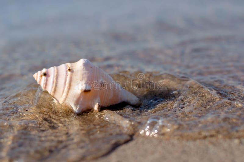 Sea Shell by the beach. Seashell, Beach royalty free stock image
