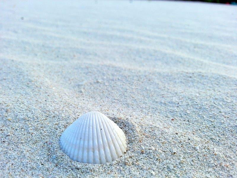 A sea shell on the beach royalty free stock photo