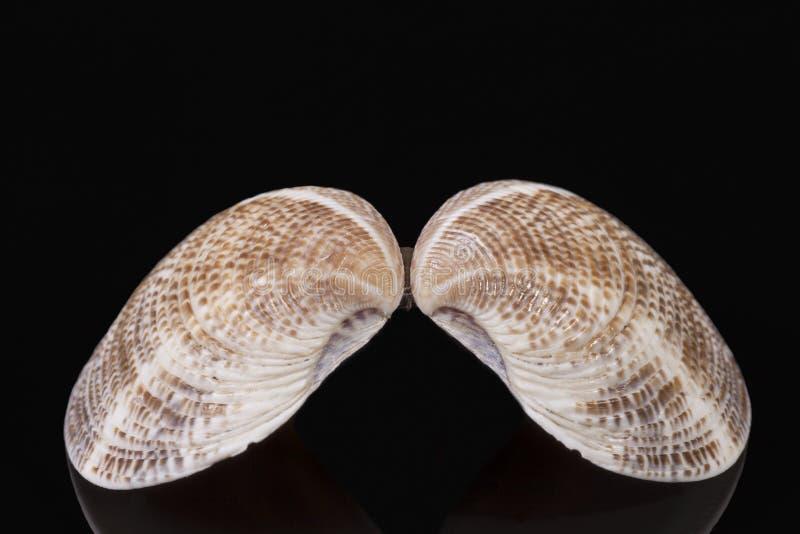Sea shell of bivalvia isolated on black background, reflection. stock photos
