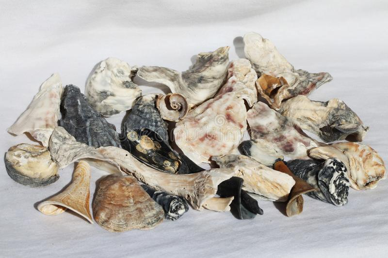 Sea shell. On the black & white background stock image