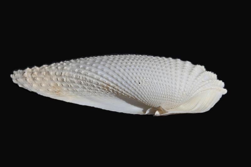 Sea shell. On the black & white background royalty free stock image