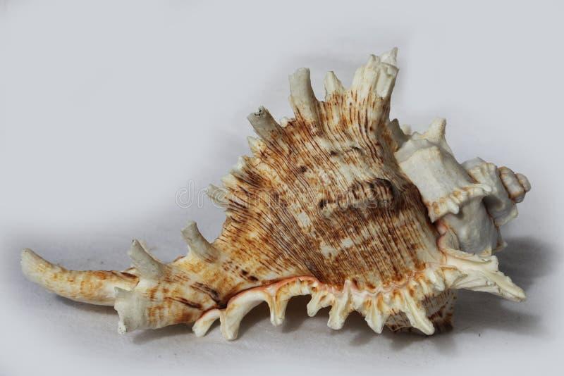Sea shell. On the black & white background royalty free stock photos