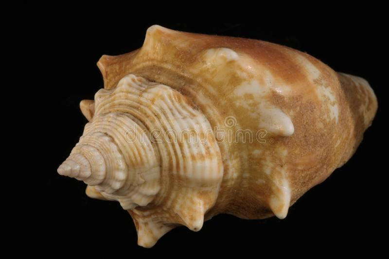 Sea shell. On the black & white background royalty free stock photography