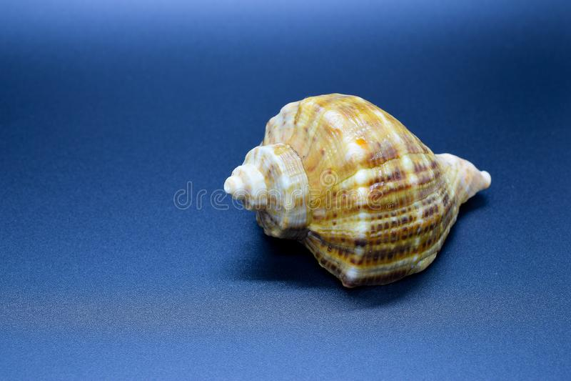 Sea shell on a blue background royalty free stock photo