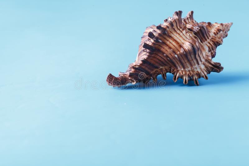 Sea shell closeup on blue background royalty free stock images