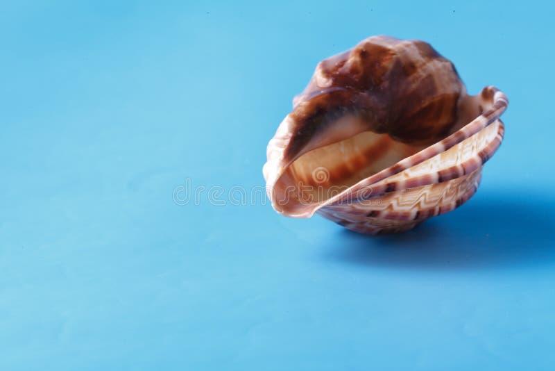 Sea shell closeup on blue background stock photos