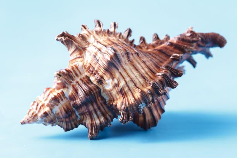 Sea shell closeup on blue background royalty free stock photo