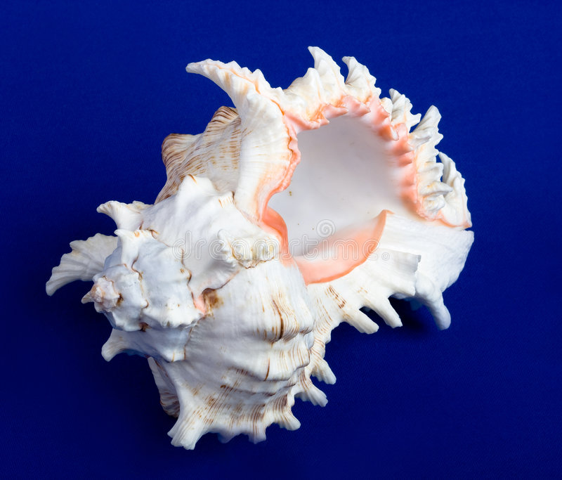 Download Sea Shell Isolated On A Blue Background Stock Photo - Image: 7006232