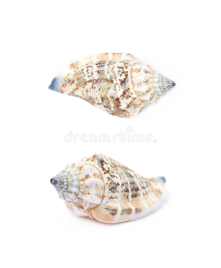 Sea shell isolated. Decorational sea shell isolated over the white background, set of two different foreshortenings stock photo
