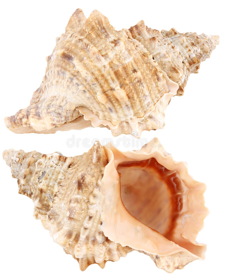 Sea shell isolated on a white royalty free stock image