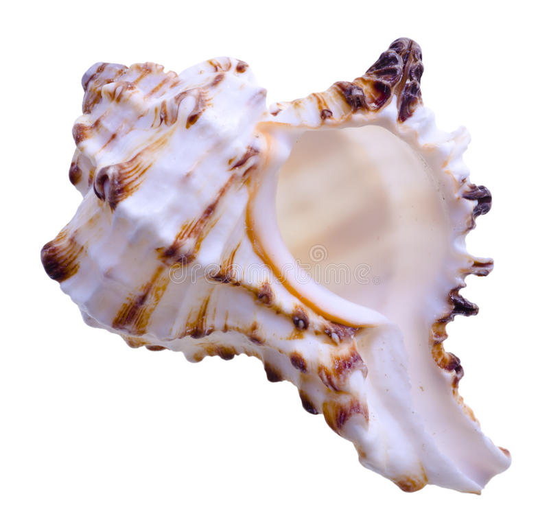 Sea shell. Isolated on white stock image