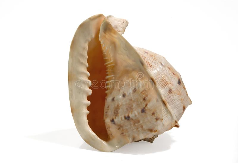 Sea shell isolated on a white background. Beautiful. Close-up in the studio stock photo