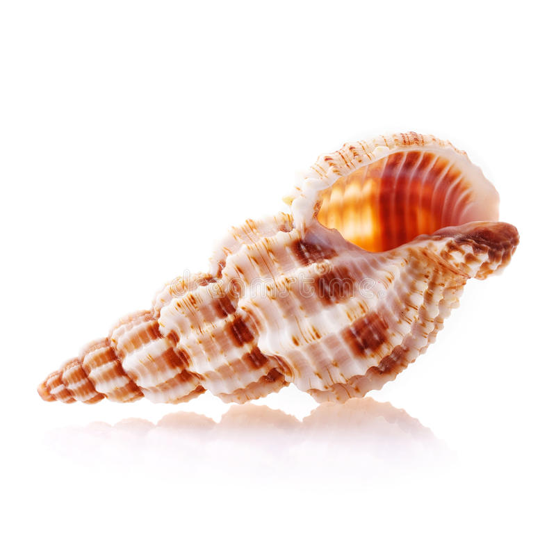 Sea shell isolated on white background. Close up royalty free stock photography