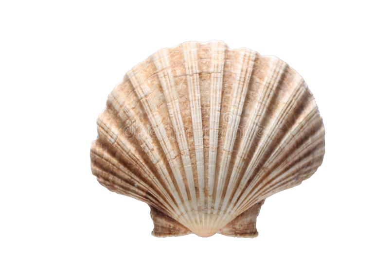 Sea shell isolated on white background with copy space for your text stock photography