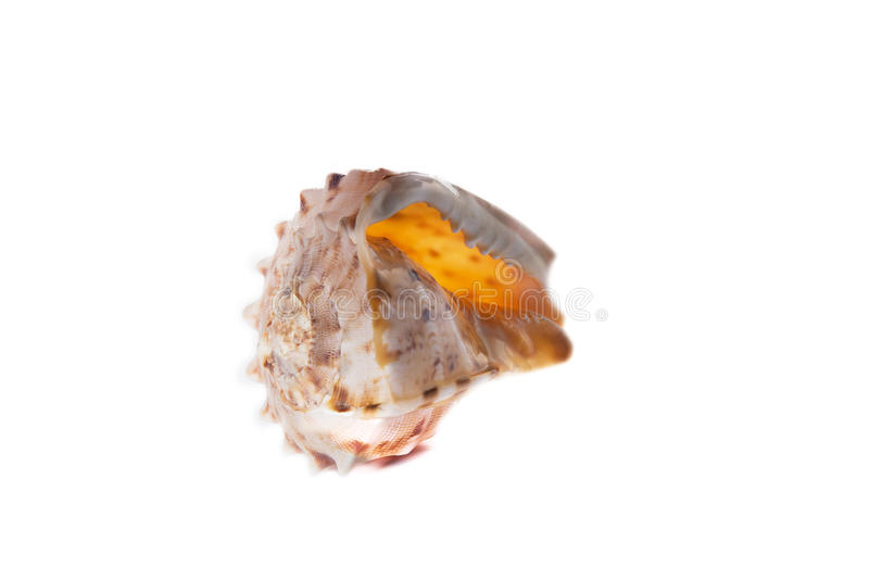 Sea shell isolated on a white background royalty free stock image