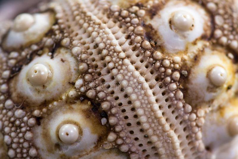 Sea shell macro. Beautiful intricate design with an amazing complex pattern found on a small sea shell stock image