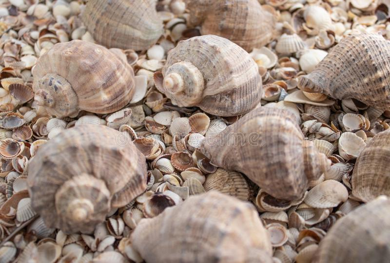 Sea shell pearl background. Seashells texture closeup.ish, sand, coral in the beach stock photography