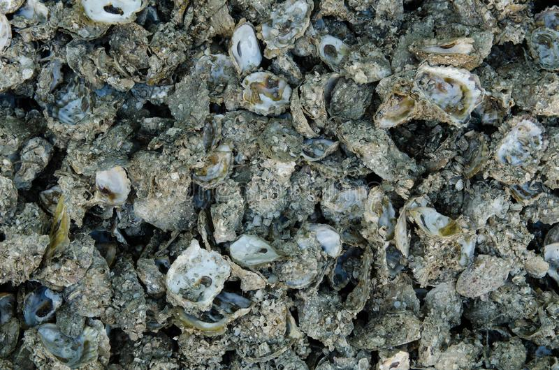 Oyster shell royalty free stock photos