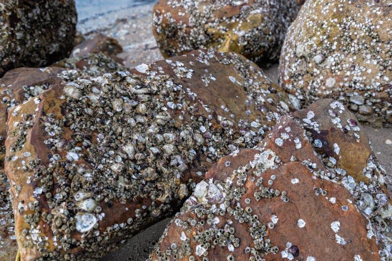 Sea shell on rock. Many Dead Sea shell on rock at the beach stock photography
