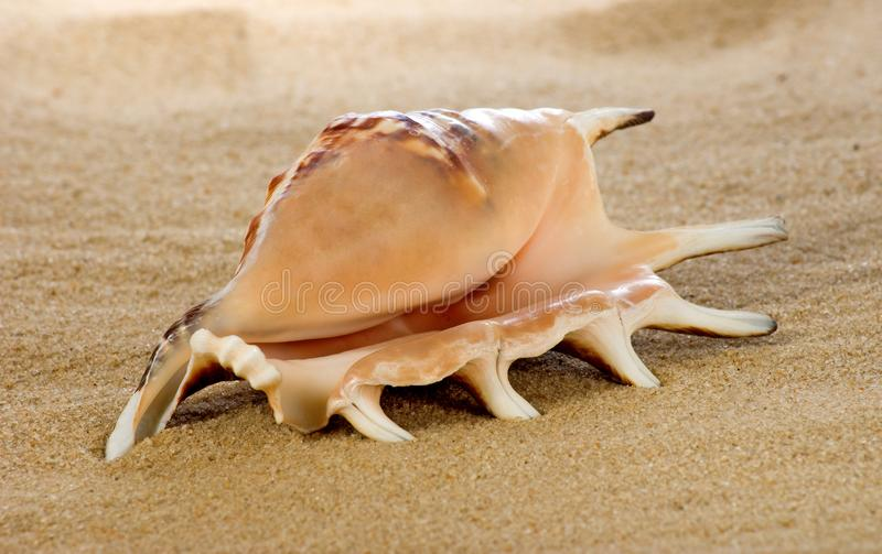 sea shell on the sand royalty free stock image