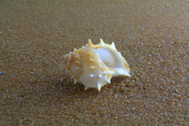 Sea shell on the sand stock image