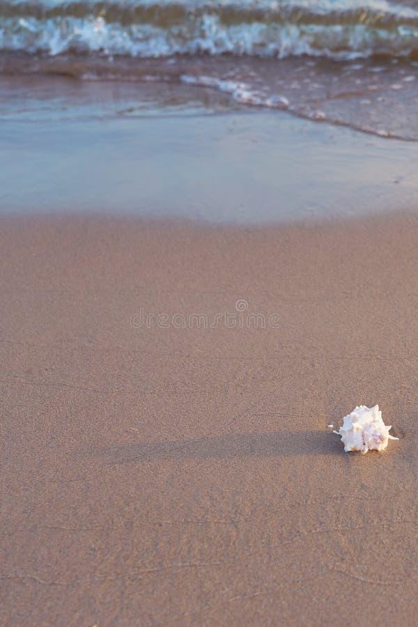 Sea shell on sandy beach. Copy space stock image