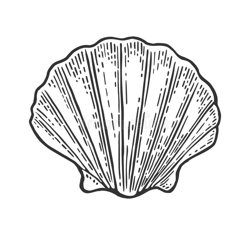 Sea shell Scallop. Color engraving vintage illustration. Isolated on white background. Sea shell Scallop. Black engraving vintage illustration. Isolated on royalty free illustration