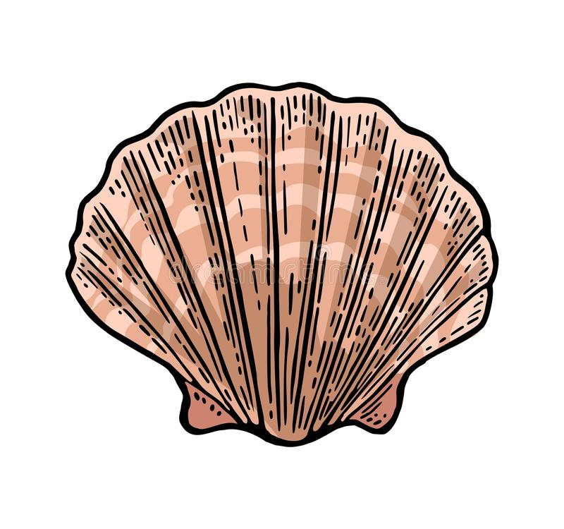 Sea shell Scallop. Color engraving vintage illustration. Isolated on white background. vector illustration