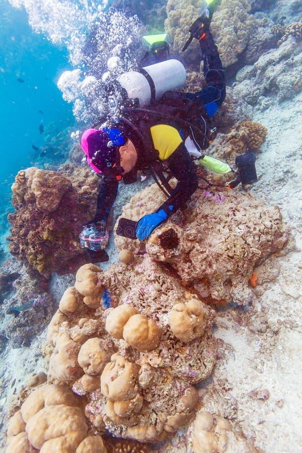 Sea shell and scuba diver, Maldives royalty free stock image