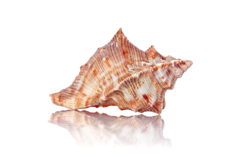 Sea shell. A single sea shell on a white background royalty free stock images