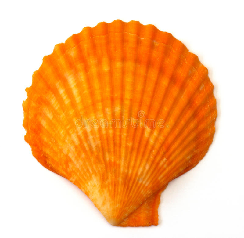 Download Sea shell stock image. Image of beach, close, discover - 39509737