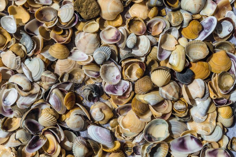 Sea shells of bivalve mollusks. Surface with many sea shells of bivalve mollusks royalty free stock photography