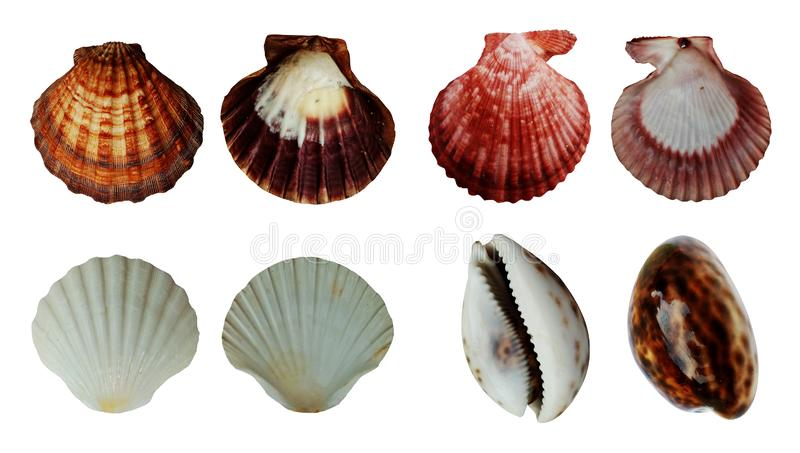 Sea shells collection isolated on white background. royalty free stock photos