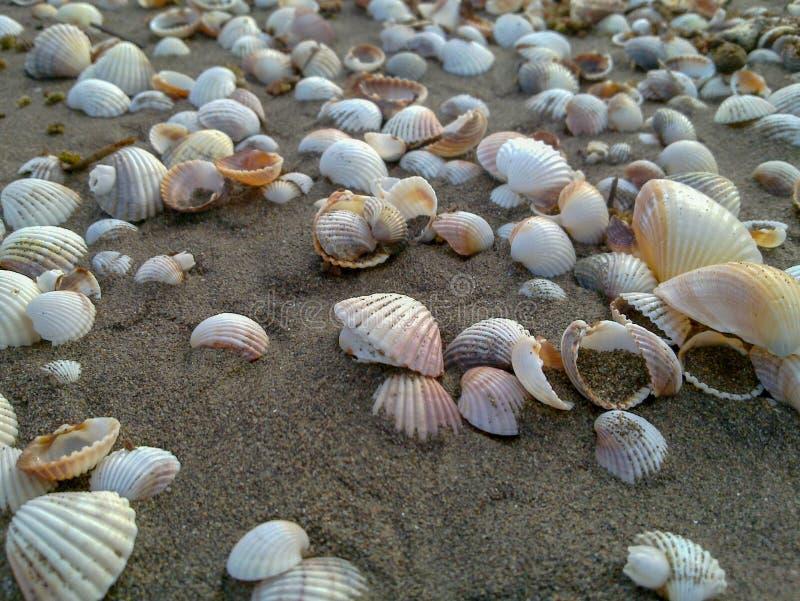 Sea Shells form a trail on the sand at caspian beach, Iran, Gilan stock photography