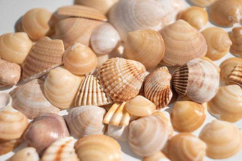 Sea shells pattern. Texture. White background royalty free stock photography