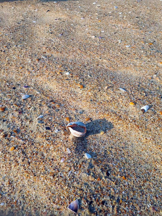 Sea shells rapan lies on the beach on the sand stock photography