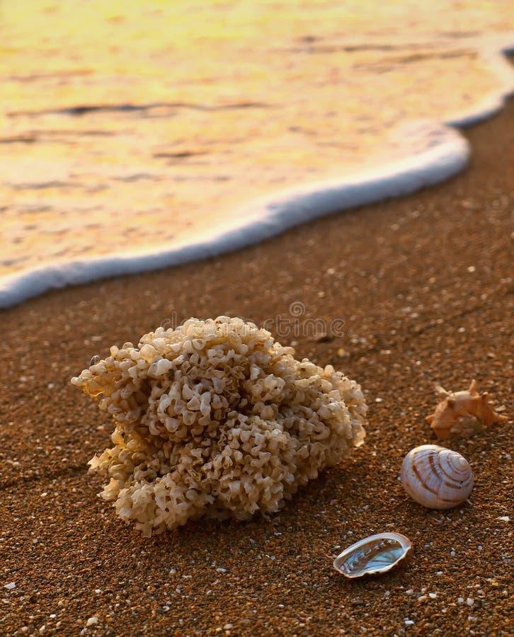 Download Sea shells on sandy beach stock image. Image of coast - 21666841