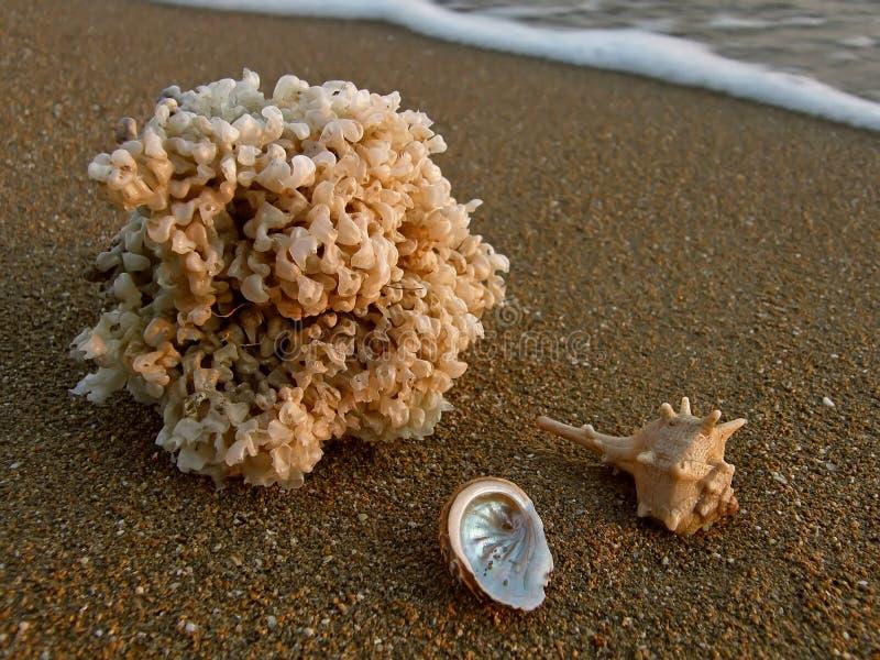 Sea shells at sandy beach royalty free stock photo